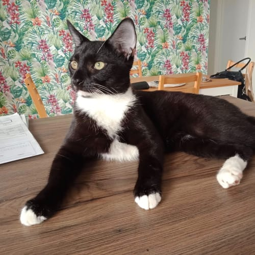 Lenny - Domestic Short Hair Cat