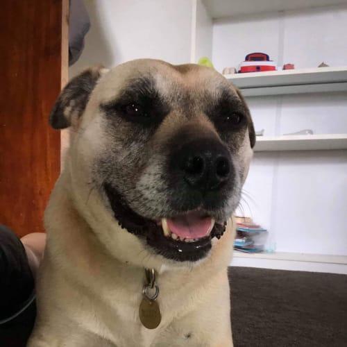 Dooboo - Staffy Dog