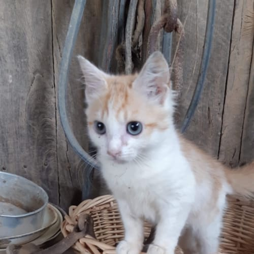 Soldier  - Domestic Medium Hair Cat