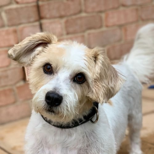 Chewy - Jack Russell Terrier x Maltese x Shih Tzu Dog