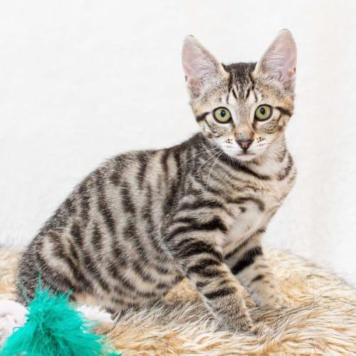 B.B - Domestic Short Hair Cat