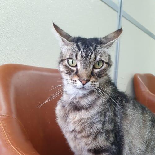 Kerser - Domestic Medium Hair Cat