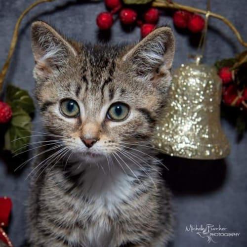 1834 - Romeo - Domestic Short Hair Cat