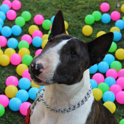 Beau - NSW Bull Terrier Rescue - Bull Terrier Dog