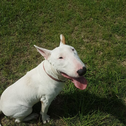 Bronson - NSW Bull Terrier Rescue - Bull Terrier Dog