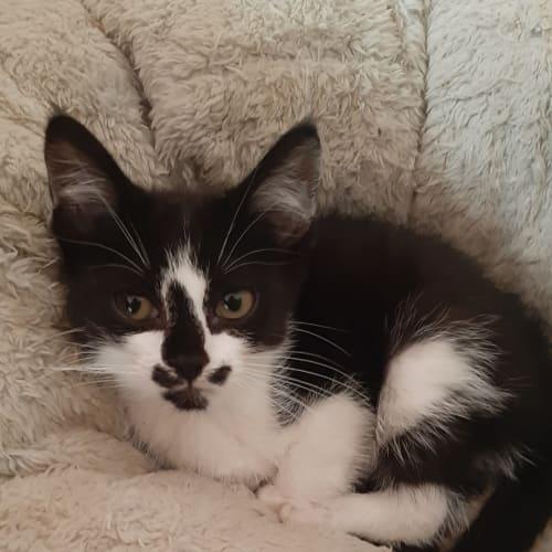 Drake - Domestic Short Hair Cat
