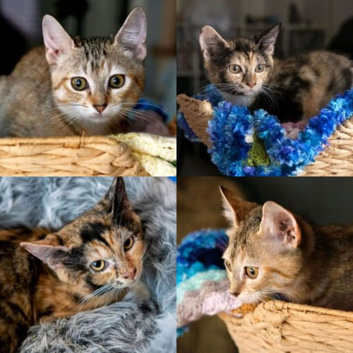 1572/1573 – Pecan & Macadamia  - Domestic Short Hair Cat