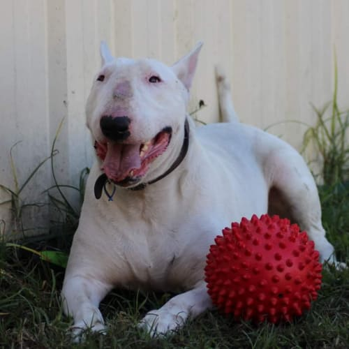 Fernandez - NSW Bull Terrier Rescue  - Bull Terrier Dog