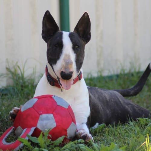 Fiona -  NSW Bull Terrier Rescue - Bull Terrier Dog
