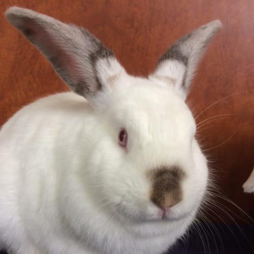 Ziggy - Dwarf Rabbit