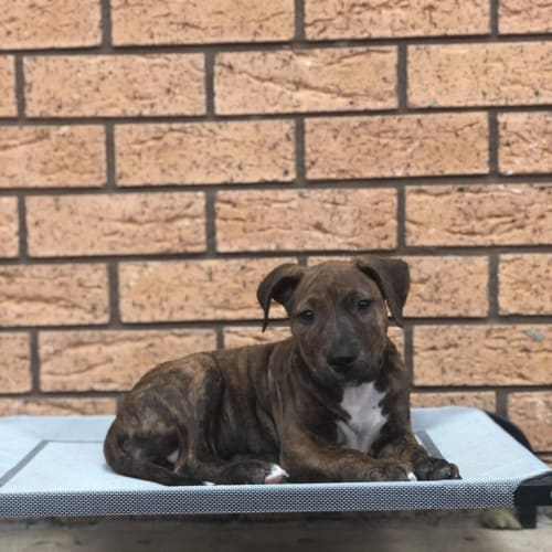 Rosie  - Bullmastiff x American Staffordshire Terrier Dog