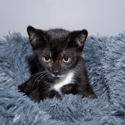 1633 - Meeny - Domestic Short Hair Cat
