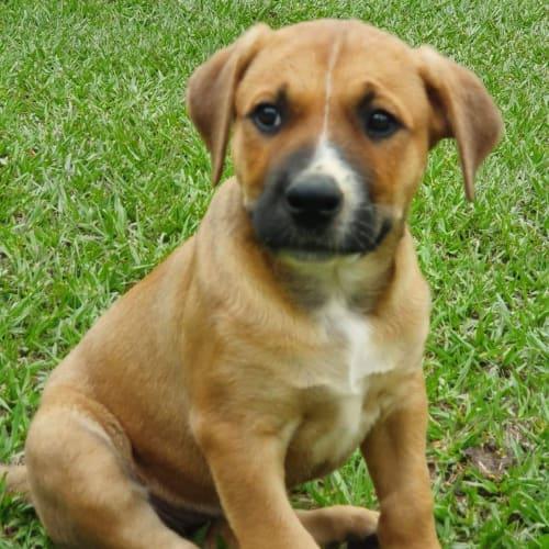 Emersyn - Mastiff Dog