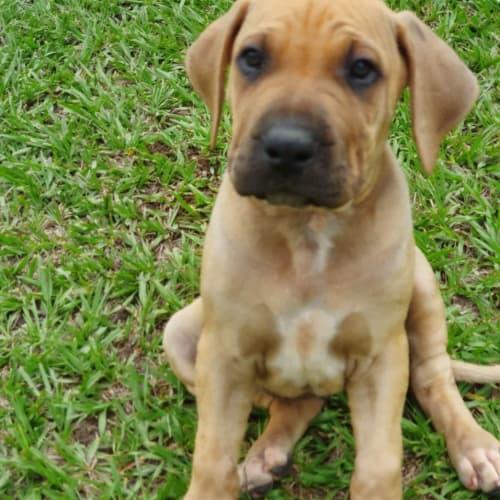 Alina - Mastiff Dog