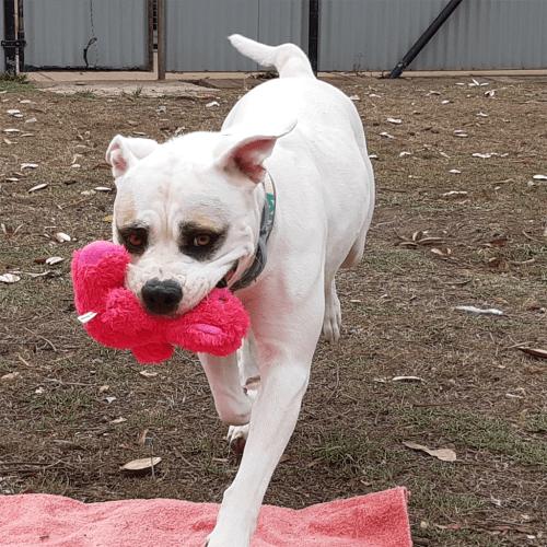 Bandi - Australian Bulldog