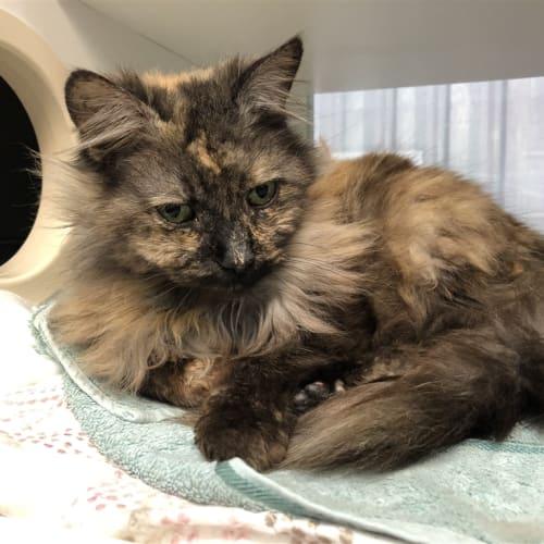 Nicky - Domestic Medium Hair Cat