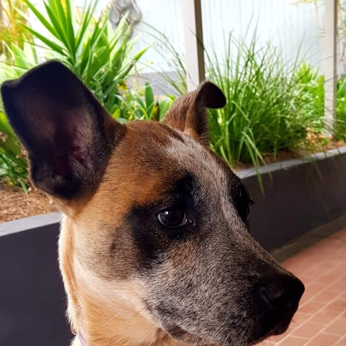 Ruby  - Australian Cattle Dog