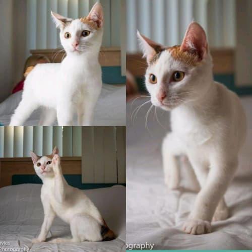 2141 - Bambi - Domestic Short Hair Cat