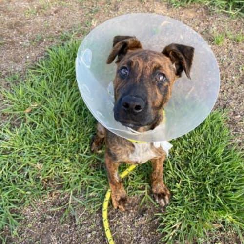 Jake  936316 - Staffordshire Bull Terrier Dog