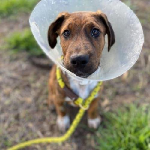 Lucas  936317 - Staffordshire Bull Terrier Dog