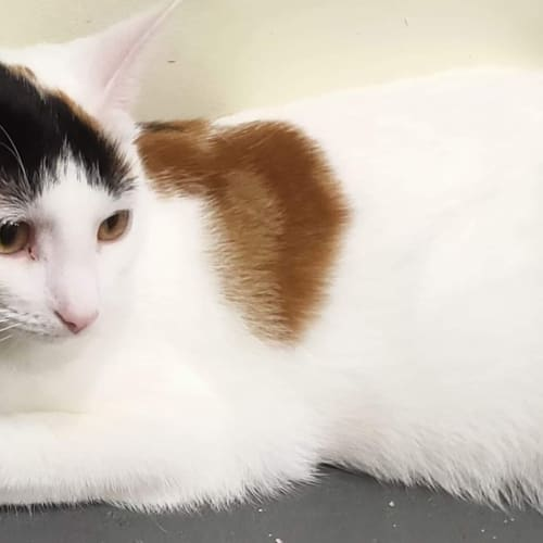 Jane - Domestic Short Hair Cat