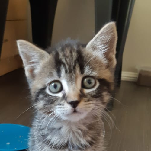 Jazzy - Domestic Short Hair Cat