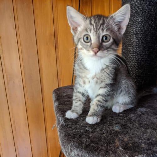 Percy ❤ - Domestic Short Hair Cat