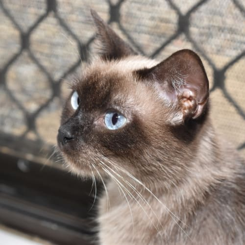 Lola - Tonkinese x Domestic Short Hair Cat