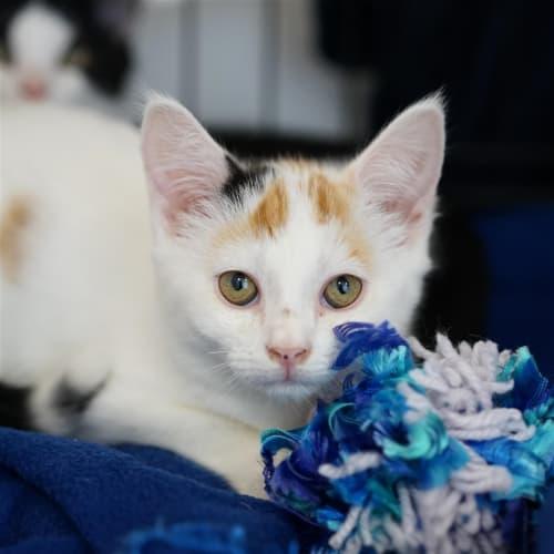 Demi - Domestic Short Hair Cat
