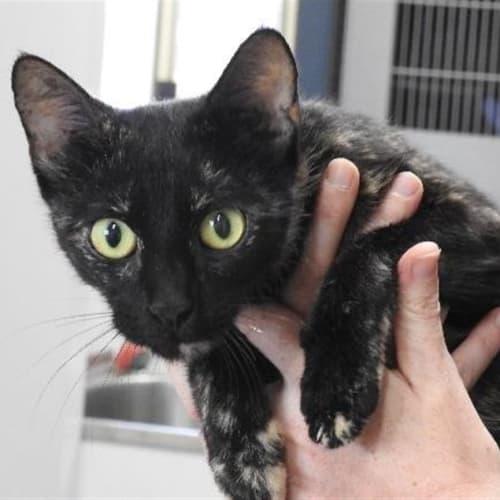 Pretzel  - Domestic Short Hair Cat