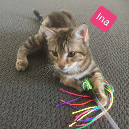 Ina - Domestic Short Hair Cat