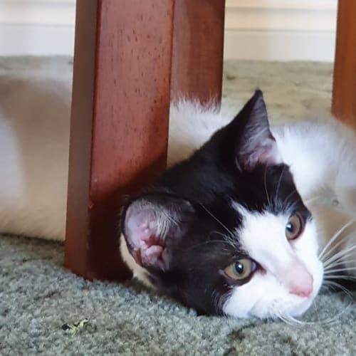 Gaia - Domestic Short Hair Cat