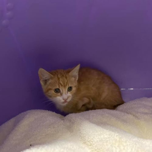 Sorbet - Domestic Short Hair Cat