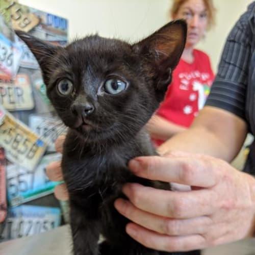 Twilight - Domestic Short Hair Cat