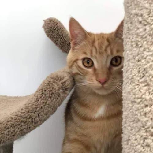 Barney Rubble - Domestic Short Hair Cat