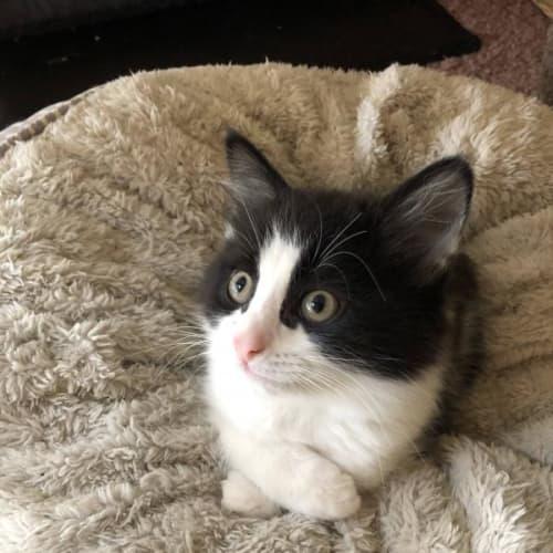 Quiche Lorraine @ Petstock Rouse Hill - Domestic Medium Hair Cat