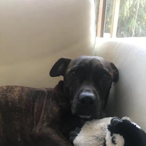 Sonny - Staffy Dog