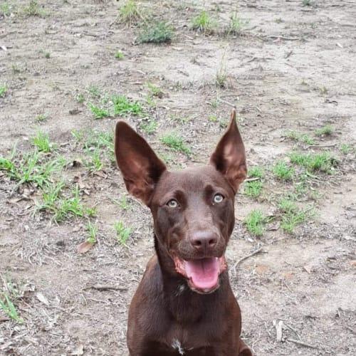 Suzie - Kelpie Dog