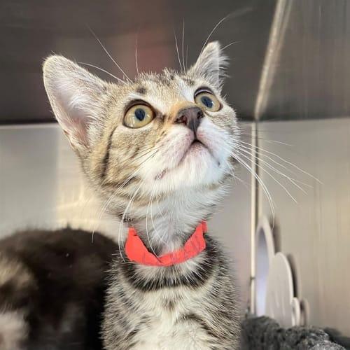 Scarlett - Domestic Short Hair Cat
