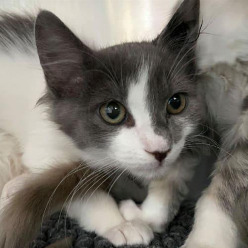 Billy - Domestic Medium Hair Cat