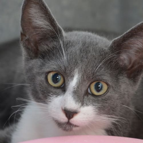 Tiny Tim - Domestic Short Hair Cat