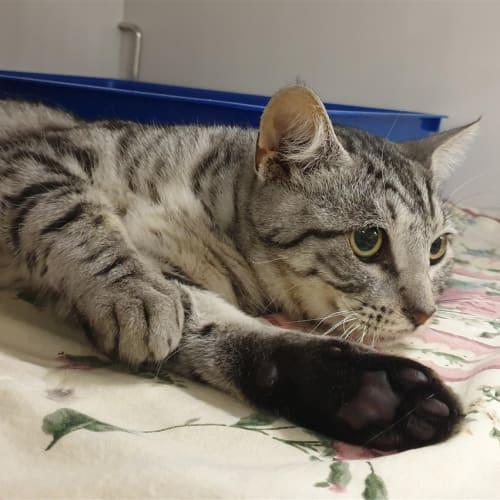 Pharris - Domestic Short Hair Cat
