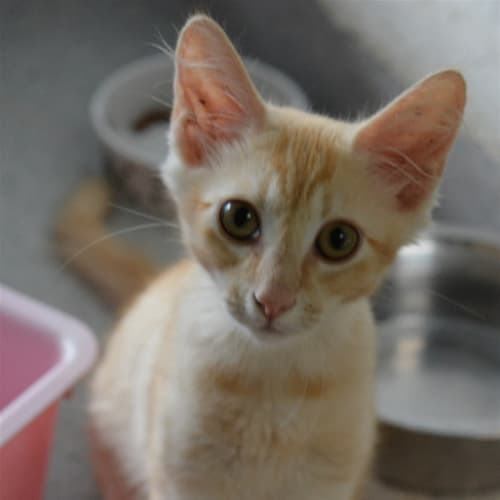 Travis - Domestic Medium Hair Cat