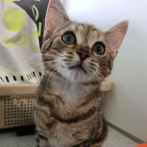 Ocean Alley - Domestic Short Hair Cat