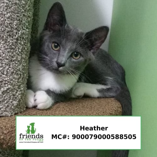 Heather - Siamese Cat