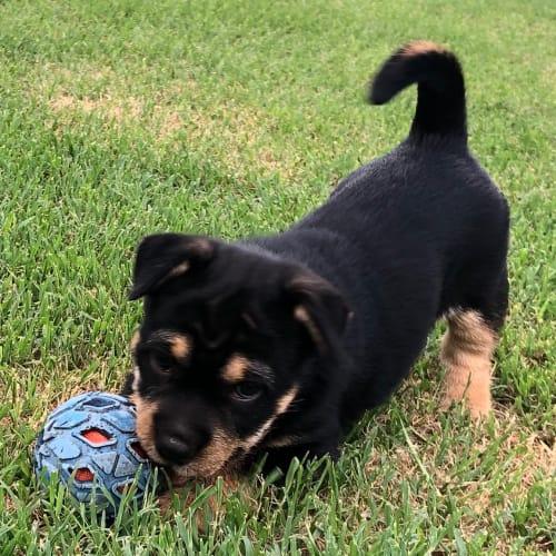 Rocket - Maltese Dog