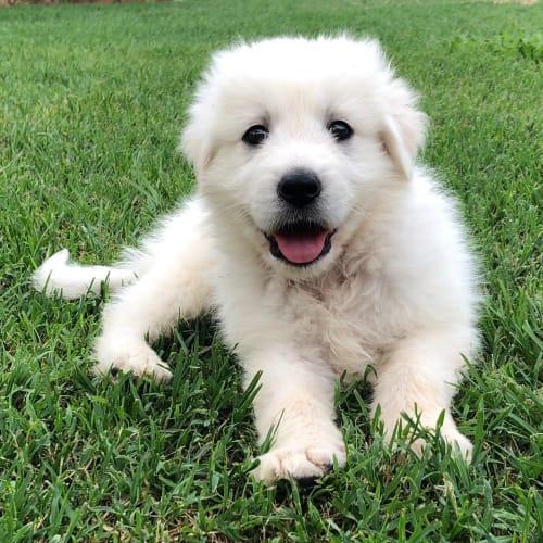 Angelo  - Maremma Sheepdog