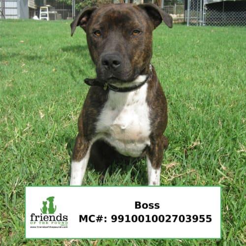 Boss - American Staffordshire Bull Terrier Dog