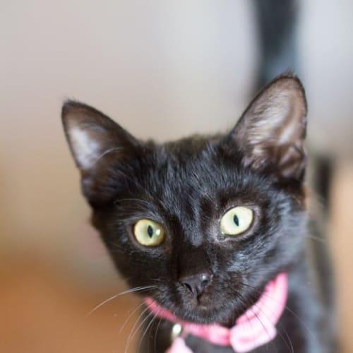 Jemima - Domestic Short Hair Cat