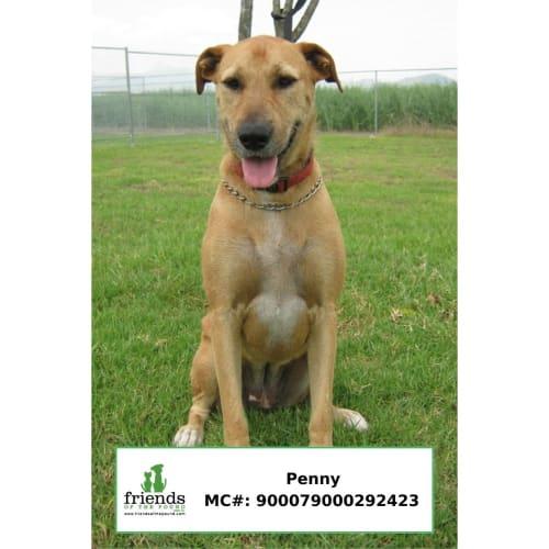Penny - Wolfhound Dog